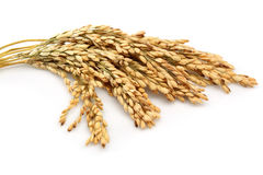 Rice stalks Royalty Free Stock Image