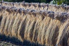 Rice Stalks II stock photography