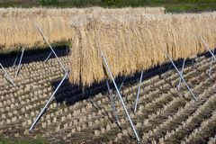 Rice Stalks III royalty free stock images