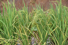 Rice Stalks In A Paddy Field Stock Photo