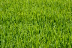 Rice stalks and spikes are photographed in detail. stock image