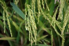 Rice stalks and spikes are photographed in detail stock images