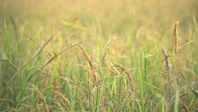 Rice stay still with slowly wind in paddy field. Thailand. Rice stay still with slowly wind in paddy field. Country side of Thailand. Warm light from beautiful stock video footage