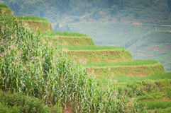 Rice step terrace in Vietnam Royalty Free Stock Image