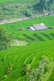 Rice step terrace in Vietnam Royalty Free Stock Photography