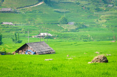 Rice step terrace in Vietnam Royalty Free Stock Images