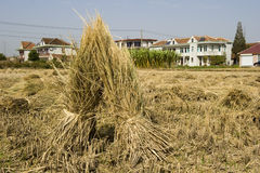 Rice straw Stock Photos