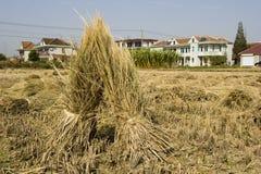 Rice straw Stock Photos