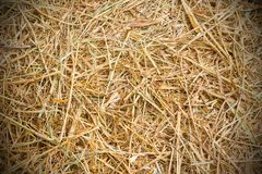 Rice straw background. Close up rice straw background Royalty Free Stock Images