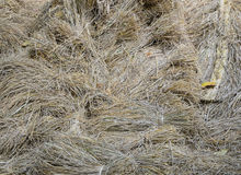 Rice straw background. Rice straw with grain (unmilled rice) background royalty free stock images
