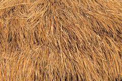 Rice straw background, Thailand Royalty Free Stock Images