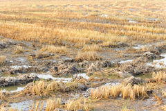 Rice straw burn after harvest and flood Royalty Free Stock Photography