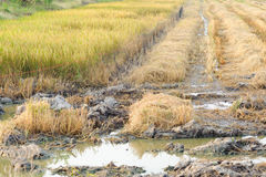Rice straw burn after harvest and flood Stock Photo