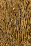 Rice straw. Close up of dried rice straw Stock Images