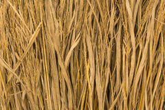 Rice straw. Close up of dried rice straw Stock Image