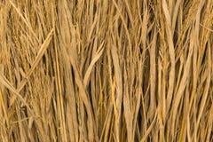 Rice straw Stock Image