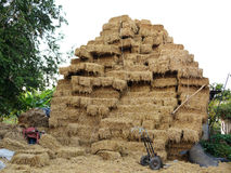 The rice straw for domesticate animals . The rice straw for domesticate animals in the farm stock photo