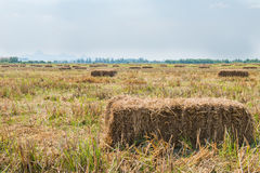 Rice straw in the field with blue sky background royalty free stock images