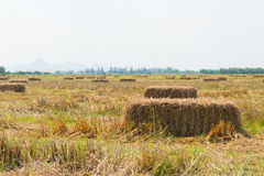 Rice straw in the field with blue sky background stock images
