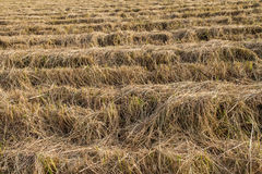 Rice straw in the fields after harvest Stock Photos