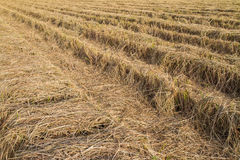 Rice straw in the fields after harvest Stock Image