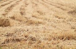 Rice straw filed Stock Photos