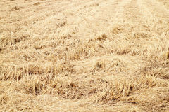 Rice straw filed Royalty Free Stock Image