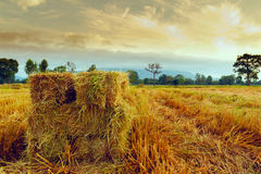 Rice straw Royalty Free Stock Photography