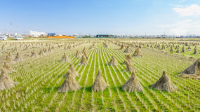 Rice straw hay in paddy field Stock Image