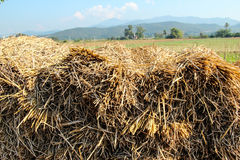 Rice straw. Heap of rice straw , rice field and hill behind stock photo