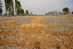 Rice straw;material for soil mulching in agriculture Stock Images