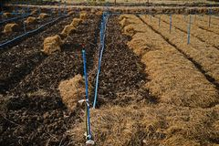 Rice straw;material for soil mulching in agriculture Royalty Free Stock Images