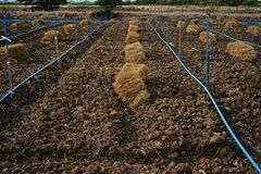 Rice straw;material for soil mulching in agriculture Stock Photography