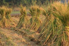 Rice straw. It is the scenery of rice straw after harvesting royalty free stock photography