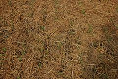 Rice straw soil mulching to prevent weed germinate and keep moisture. Organic farming royalty free stock image
