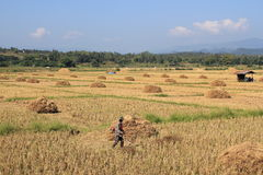 Rice straw in Thailand Stock Images