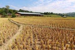 Rice stubble Royalty Free Stock Photo