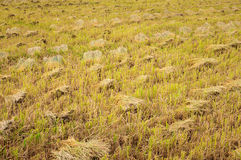 Rice stubble Stock Photo