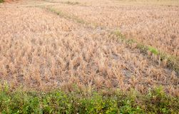 This rice stubble for Animal feed. This rice stubble Used as animal feed while wait for the burning to make fertilizer Royalty Free Stock Photo