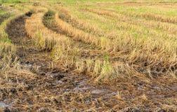 Rice stubble Stock Photos