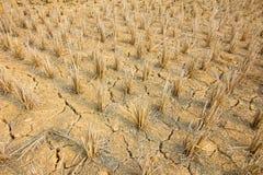 Rice stubble Stock Image