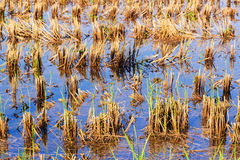 Rice stubble in rice field Stock Image