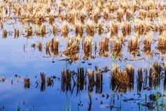 Rice stubble in rice field Stock Photo