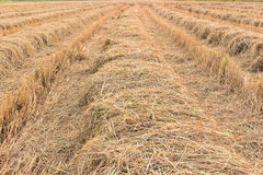 Rice stubble Royalty Free Stock Photo
