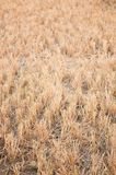 Rice stubble for Animal feed. This rice stubble Used as animal feed while wait for the burning to make fertilizer Royalty Free Stock Image