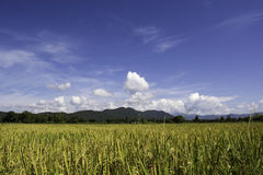 Rice. Summer landscape with rice field and clouds stock photo