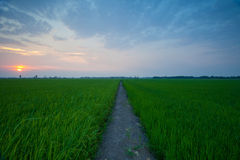 Rice sunset farm Royalty Free Stock Image