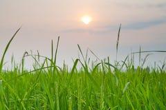 Rice sunset farm Stock Photos