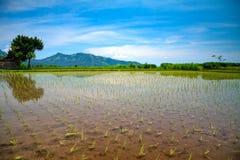 Rice taras Zdjęcie Stock