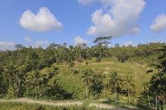 Rice taras przy Tenggalalang Bali Fotografia Stock